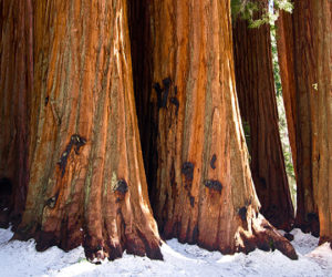 Researchers from Institute of Botany make significant progress on investigating the relative vulnerability of giant sequoia groves to a warming climate and multi-year dry periods